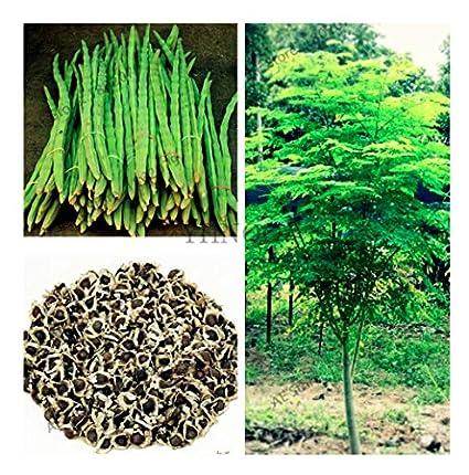 Amazon.com: 25 semillas de Moringa del árbol de la vida - El ...