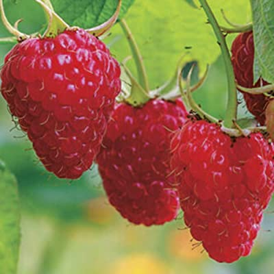 wpOP59NE Red Raspberry Seeds, 300Pcs Delicious Red Raspberry Bush Fruit Seeds Sweet Juicy Garden Yard Plant Red Raspberry Seeds: Sports & Outdoors