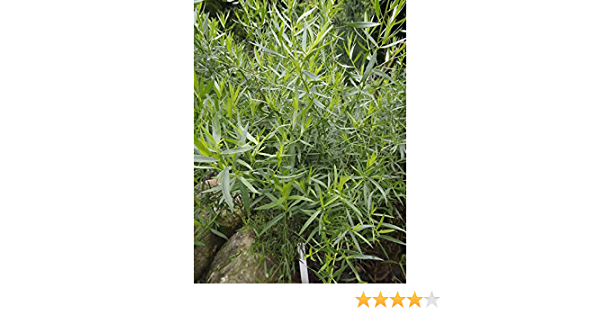 P9 Quick Delivery Outdoor Plants Hardy Perennial Herb French Tarragon Artemeisia Dracunculus - Summer// Autumn Flowering 9cm Pot Middleton Nurseries
