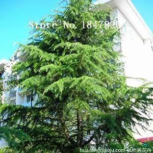 AAA 2016 50 Araucaria seeds outdoor plants Refreshing Bonsai seeds Foliage Plants tree seeds