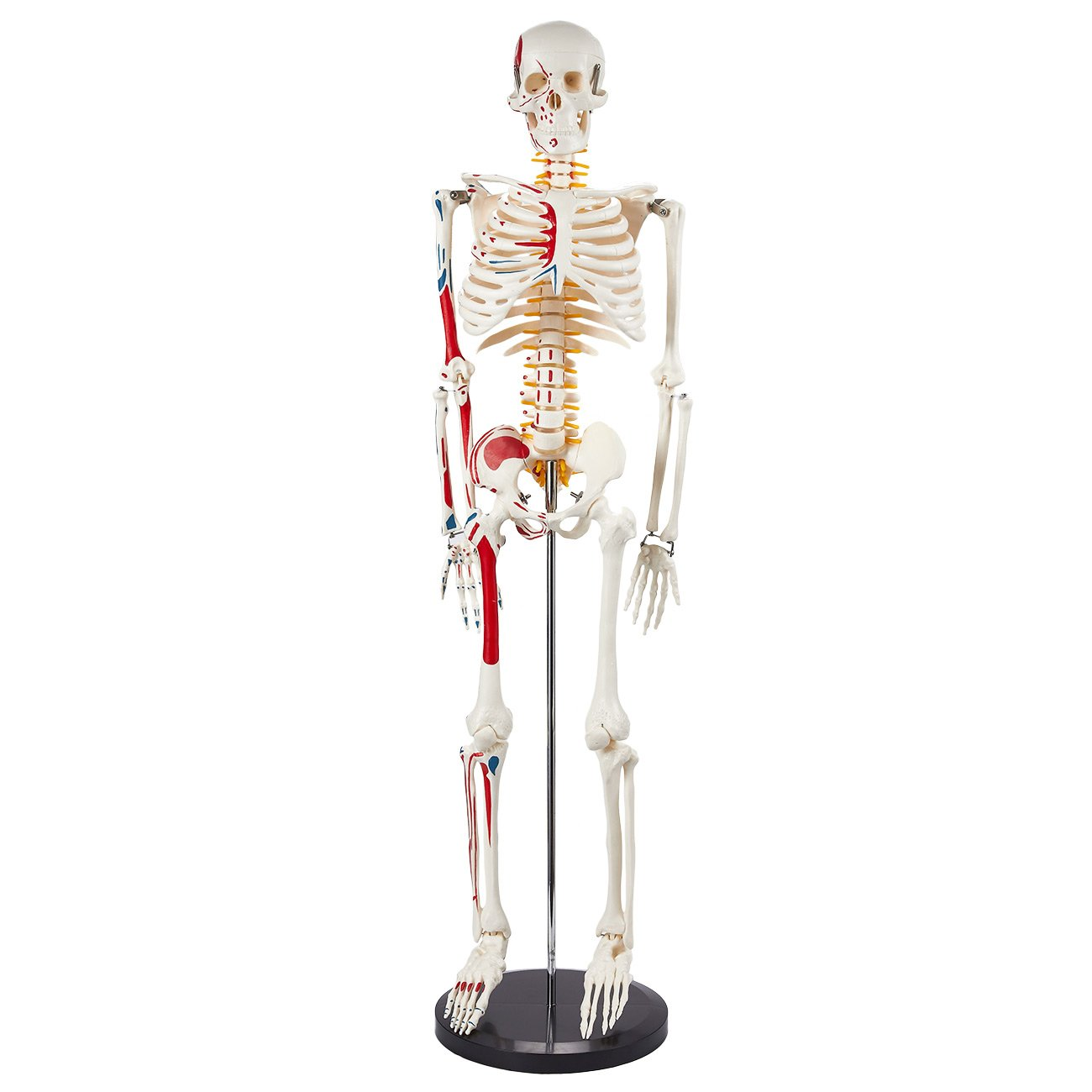 Amazon Human Skeleton Model Muscular Painted Anatomical