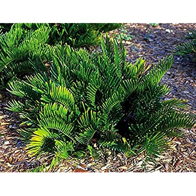 Coontie Palm - Live Plant in a 6 Inch Pot - Zamia Floridana - Easy Care Evergreen Palm : Garden & Outdoor