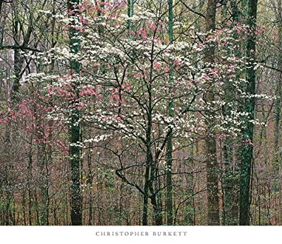 Pink and White Dogwoods, Kentucky Chris Burkett Print 30x26