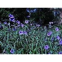 petunias mexicanos Seed- Ruellia brittoniana 'Blue Star' 30 semillas!