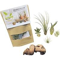 Bastelset, 5 MINI-Tillandsien mit Pflanzenfixierset und Dekowurzel