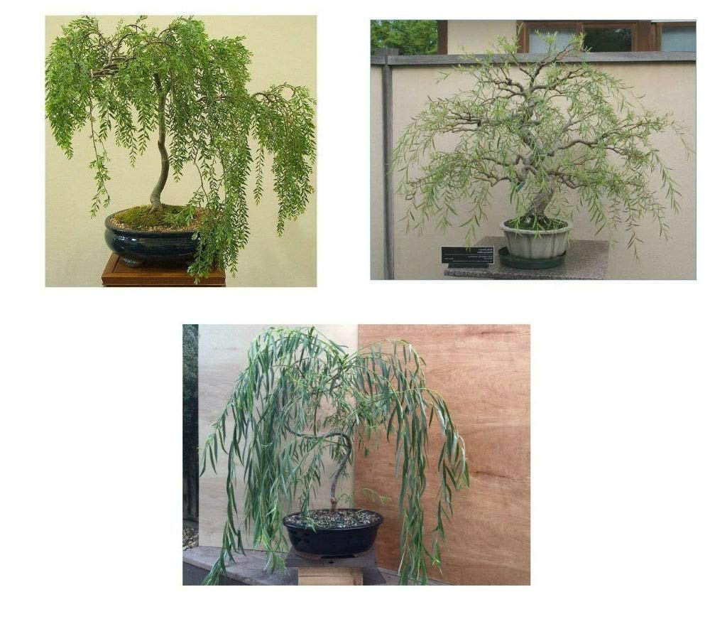 3 Bonsai Weeping Australian Dragon Willow Corscrew Live Tree Large Thick Trunk