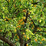 Van Zyverden Apricot Tree - Moorpark - 1 Root Stock