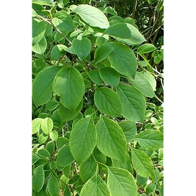 WOR 25 Pcs Seeds Syringa Reticulata Japanese Tree Lilac - 273RK : Garden & Outdoor
