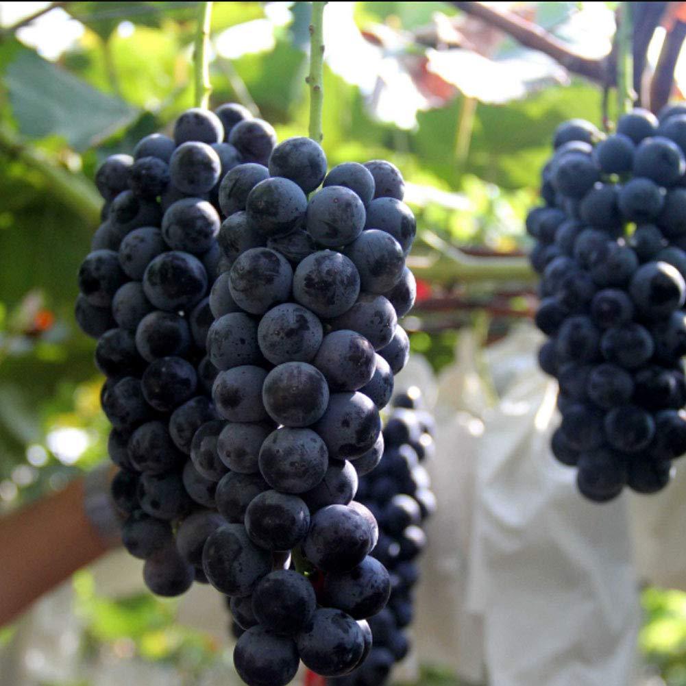 20pcs Semillas Frutales de Uva, Seeds Arboles de Vid Plantas Frutales Deliciosas Fruta Orgánica Exóticas para Jardín Balcón Patio Granja (3): Amazon.es: Jardín