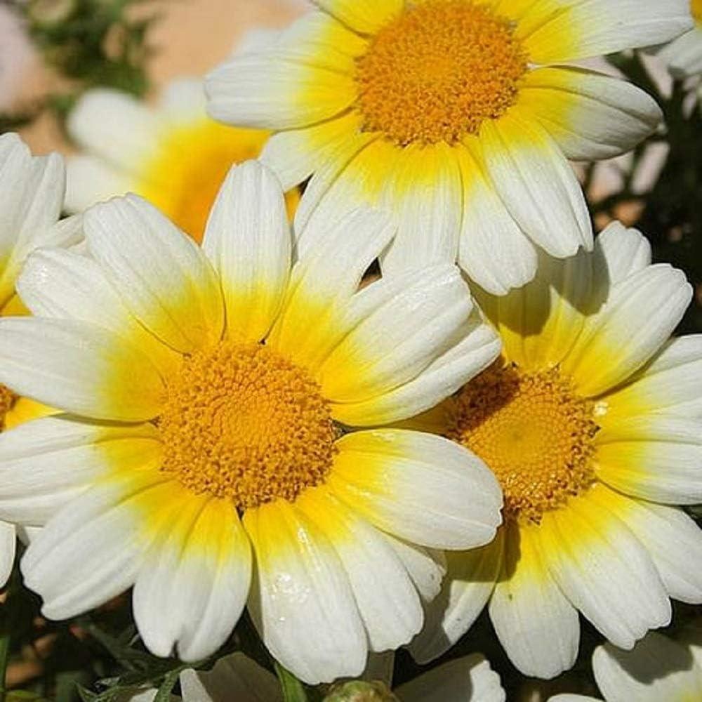 David's Garden Seeds Flower Daisy Garland 6765 (Multi) 200 Non-GMO, Open Pollinated Seeds
