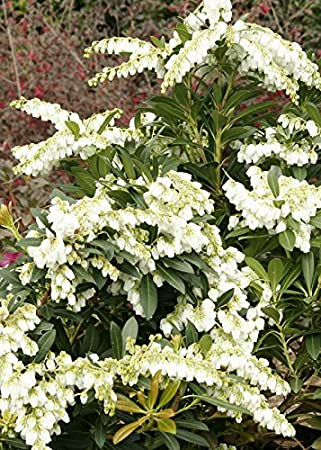 Amazon 2 gallon mountain snow pieris evergreen shrub 2 gallon mountain snow pieris evergreen shrub bloom clusters of small bell shaped mightylinksfo Image collections