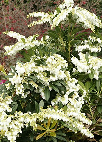 Amazon 25 qt mountain snow pieris evergreen shrub bloom 25 qt mountain snow pieris evergreen shrub bloom clusters of small bell shaped mightylinksfo