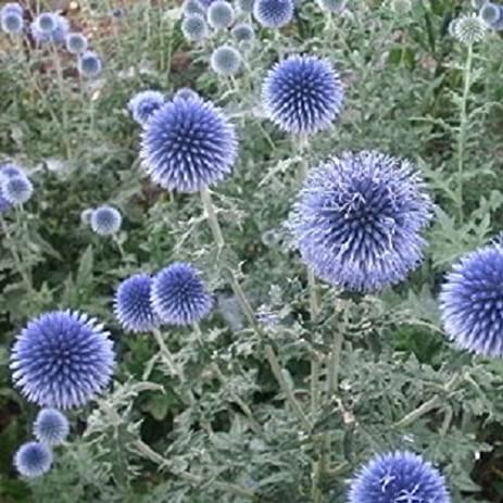 Amazon 1 perennial starter of echinops bannaticus globe 1 perennial starter of echinops bannaticus globe thistle elegantly tall deep blue flower heads mightylinksfo