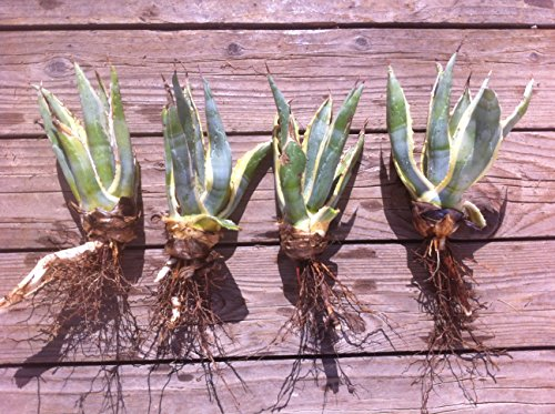 Yellow & Blue/Green Agave Cactus Plant - Small (Live Bareroot Plant)