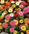 Zinnia Seeds- Thumbelina Mix- 200+ 2017 Seeds