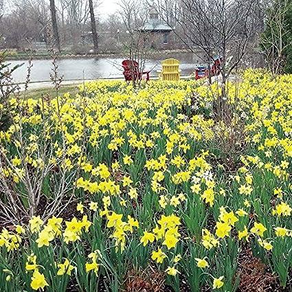 Amazon Com Wayside Gardens Narcissus Naturalizing Mix