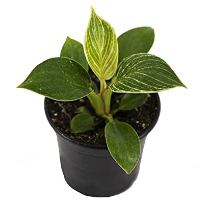 "AMERICAN PLANT EXCHANGE Philodendron Birkin Ultra Rare Live Plant, 4"" Pot, Stunning Indoor Air Purifier : Garden & Outdoor"