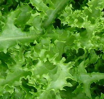 Green Curled Rufflec ENDIVE 100-8000 Seeds heirloom delicious tender leaves