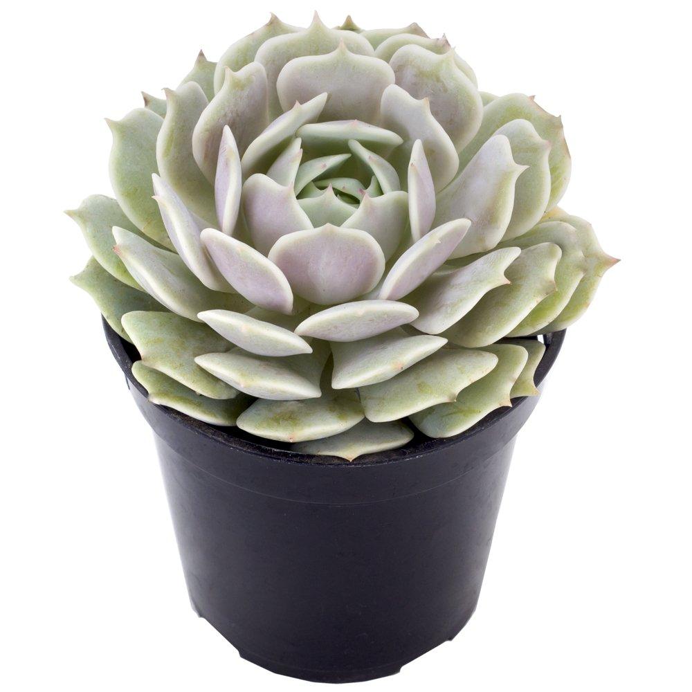 Altman Plants Assorted Live Succulents Flowering Rosette Collection Echeveria, sedeveria, perfect for party favors and arrangements, 3.5'', 9 Pack by Altman Plants (Image #7)