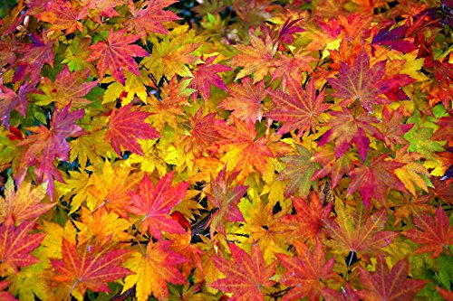 Korean Maple - Tolerates Extreme Cold, Surviving In Climates Where Japanese Maples Cannot, Hardy to -40F - 2 Year Live Plant by Japanese Maples and Evergreens (Image #2)