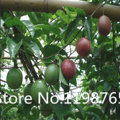 (Free Shipping Passiflora incarnata Maypop 100pcs/bag - Beautiful Passion Vine Fruit Flower Seeds)