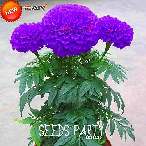 Best-Selling!Purple Maidenhair Flower Seeds Potted Herb Garden Marigold Chrysanthemum Bonsai Seeds 50 PCS/Bag,#D6YDQT (Garden Maidenhair Floral)