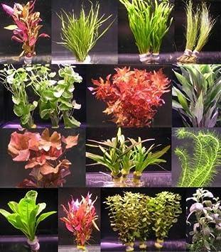 über 120 Aquarium-pflanzen In 16 Bunde - Großes Buntes Sortiment ... Wasserpflanzen Fur Aquarium Auswahlen Pflege