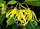 100 Seeds/Lot New Seeds 2015!Cananga odorata, Ylang-Ylang Tree, container or indoor plant flower seeds