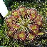 10 CARNIVOROUS SUNDEW PLANT Drosera Flower Seeds *Comb S/H