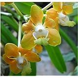 Vanda denisoniana - Orchideen - 100 Samen