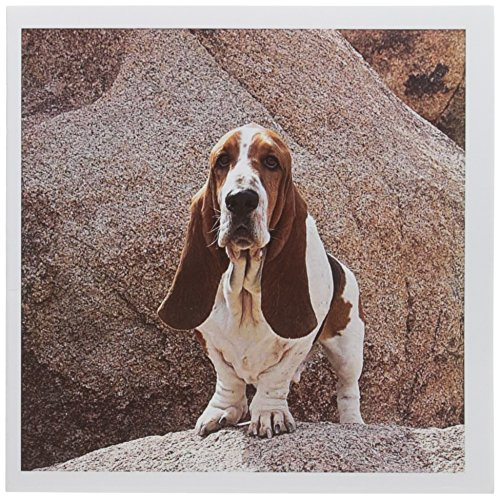 3dRose A Basset Hound dog - US05 ZMU0117 - Zandria Muench Beraldo - Greeting Cards, 6 x 6 inches, set of 12 (gc_88798_2)