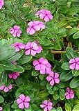 TROPICA - Madagascar Periwinkle - evergreen (Catharanthus roseus syn. Vinca roseus) - 400 Seeds - Africa