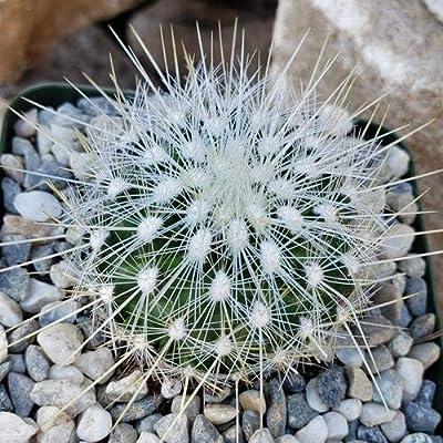 Thelocactus macdowellii : Garden & Outdoor
