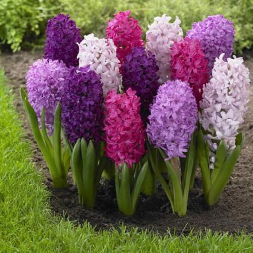 Hyacinth Fierce Mix (50 bulb)Dense spike of fragrant floret,great in your garden
