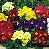 Cowslip Primrose 'Colossea Mix' (Primula Veris L.) Flower Plant Seeds, Perennial Heirloom