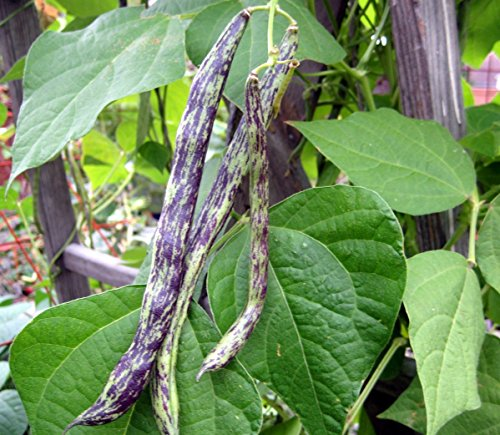 Pole Beans Seed Pack - 100 Seeds/pack Rattlesnake Pole Bean Seeds