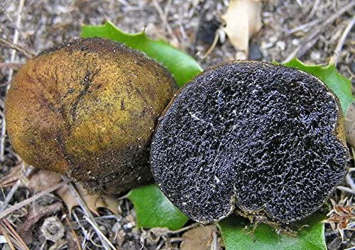 10 g WHITE OREGON TRUFFLE Tuber Oregonense Mycelium Mushroom Spawn Spores Seeds