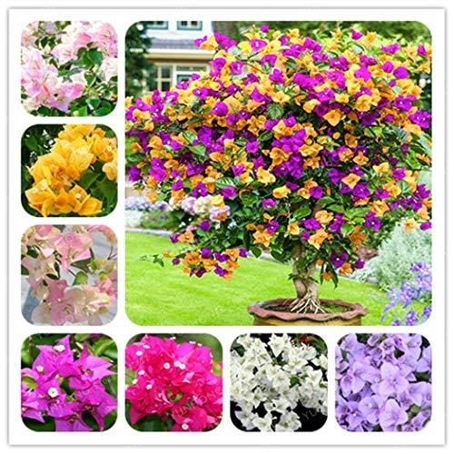 ICCUN 100 PCs Bougainvillea Flower Seeds Bonsai Tree Seeds Home Garden Planting ()