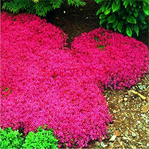 (Rare Flower Seeds Garden Perennial Flowers New Arrival!100pcs Rare Rock CRESS Bonsai Climbing Plant Creeping Thyme Flores Perennial Ground Cover Flower for Home Garden,#AZ (Mix Color))