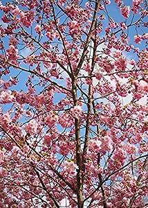"1 Starter Plant of Okame Cherry Tree in 5"" Quart Pot"