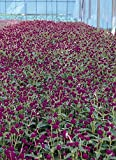Gomphrena Globosa Qis Series Purple Annual Seeds