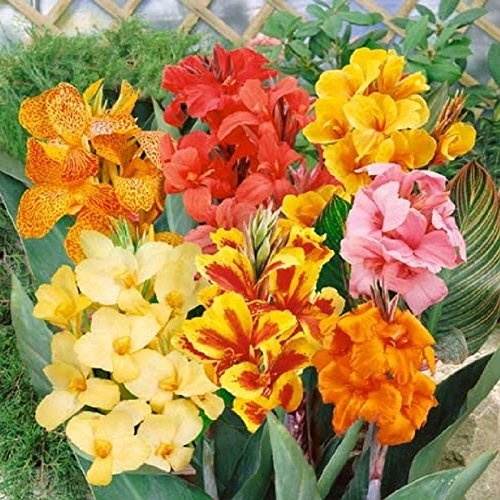 CANNA LILY mix, all dwarf varieties plant border bed garden decor 10 seeds