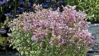 Arizona Sunset Hummingbird Mint - Agastache - 10 Seeds
