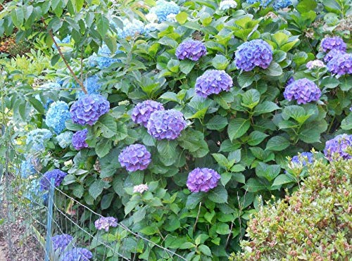 Rooted Deep Purple Hydrangea Plants About 1 ft Tall Fully Rooted Healthy and Strong Get 1#NR01YN