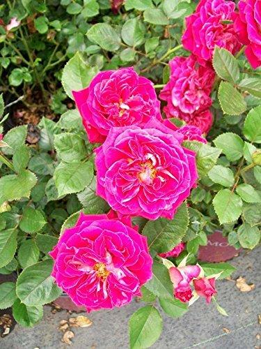 Smart & Sassy Satin Red Rose 1 Gal Live Bush Plants Miniflora Plant Fine Roses ()
