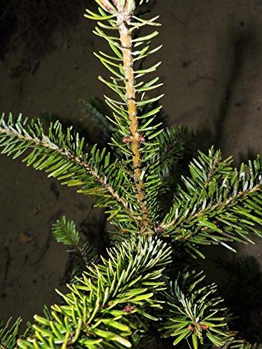 75 Stk. Nordmanntanne Borshomi - (Abies nordmanniana Borshomi) Topfware 8-12 cm 3 jährig