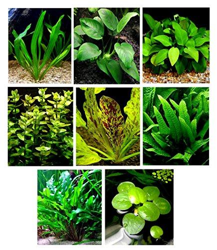 25-live-aquarium-plants-8-different-kinds-3-amazon-swords-3-kinds-java-fern-egeria-ludwigia-and-more