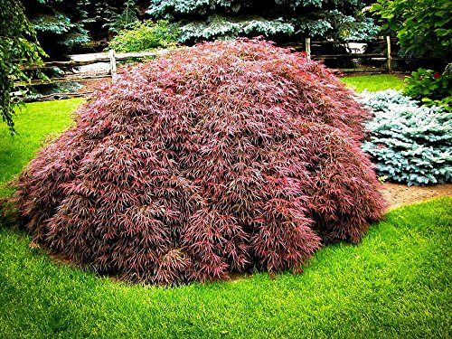 Tamukeyama Weeping Laceleaf Japanese Maple - Live Plant - Trade Gallon Pot (Maple Tree That Turns Bright Red In Fall)
