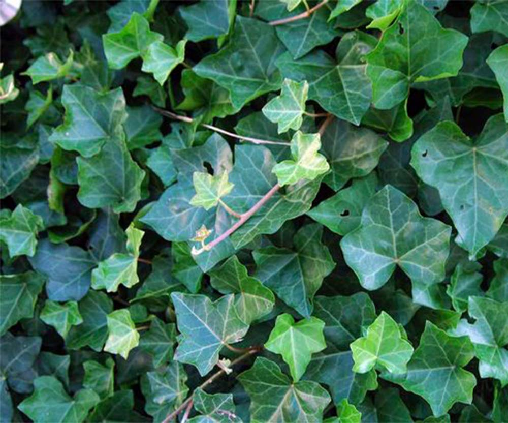 AMERICAN PLANT EXCHANGE Easy Care English Ivy Large Leaf Trailing Vine Live Plant 6'' 1 Gallon Top Indoor Air Purifier! by AMERICAN PLANT EXCHANGE (Image #5)
