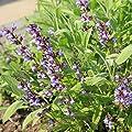Sage Herb Seeds - Broad Leaved Variety - Heirloom Broad Leaf Sage Garden Seeds - Perennial Herb Gardening - Grey-Green Foliage